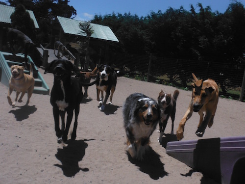 Dog day care at Two Rock is a safe, fun way for your dog to get exercise! © Two Rock Dog Ranch