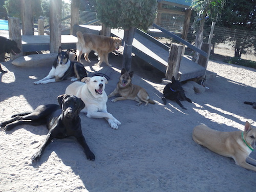 Dogs socialize at their own pace at Two Rock Dog Ranch. © Two Rock Dog Ranch
